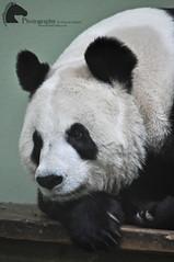 Tian Tian, the female giant panda (Vicktrr) Tags: giant zoo penguin gentoo edinburgh panda king tian lion bamboo koala zebra eucalyptus giantpanda hyrax rockhopper anteater smew porpoising grevys alinga