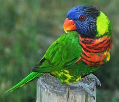 rainbow lorikeet parrot parrots trichoglossus psittaciformes haemotodus