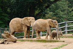24.09.2014/39 - Elefantenfamilie (grasso.gino) Tags: family animals grey tiere big familie grau elefant gros