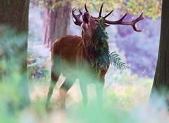 Didn't See Him Coming!... (paulinuk99999 (lback to photography at last!)) Tags: park red richmond september deer rut 2014 paulinuk99999 sal70400g