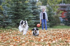 First Fall Catch 09 (Back in the Pack) Tags: portrait orange dog green calgary fall dogs leaves ball puppy fun nw play hannah sheltie elle catch 5d gromit bowness chuckit dogdaycare 70200mmf28lis dorkie backinthepack nwcalgary wwwbackinthepackca eos5dmarkii albertabarks