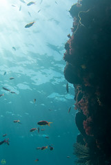 DSC_9395.jpg (d3_plus) Tags: sea sky fish beach coral japan scenery diving snorkeling 日本 shizuoka 海 空 j1 風景 izu seaanemone 魚 softcoral 景色 静岡 伊豆 skindiving キンギョハナダイ イソギンチャク minamiizu サンゴ シュノーケリング 静岡県 素潜り ソフトコーラル 南伊豆 nikon1 seagoldies hirizo 中木 アカトゲトサカ seagoldie ヒリゾ浜 nakagi トゲトサカ nikon1j1 1nikkor185mmf18 スキンダイビング beachhirizo commoncoral misakafishingport 三坂漁港 コブハマサンゴ