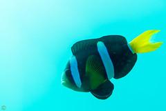 DSC_9439.jpg (d3_plus) Tags: sea sky fish beach japan scenery diving snorkeling 日本 shizuoka 海 空 j1 風景 izu anemonefish seaanemone 魚 景色 静岡 伊豆 skindiving クマノミ clarksanemonefish イソギンチャク minamiizu シュノーケリング 静岡県 素潜り 南伊豆 nikon1 hirizo 中木 ヒリゾ浜 nakagi nikon1j1 1nikkor185mmf18 スキンダイビング beachhirizo misakafishingport 三坂漁港