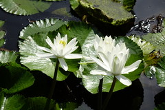 Water lily (ddsnet) Tags: plant flower waterlily sony cybershot  aquaticplants      rx10    nymphaeatetragona
