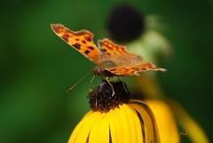 Gehakkelde Aurelia / Comma (hub en gerie) Tags: nature butterfly garden natuur tuin gehakkeldeaurelia comma vlinder commabutterfly abigfave platinumheartaward allnaturesparadise
