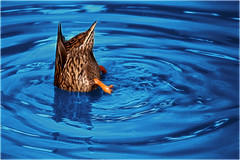 Water Ballet (Trudie S) Tags: abstract water female duck mallard