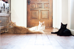 The Lazy Sunbathers (Kilkennycat) Tags: cats sunlight black cat canon ginger tabby kittens 50mm14 lazy sunbathers woodfloor 500d kilkennycat t1i ryanconners