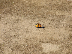 """Monarch Butterly wings down • <a style=""""font-size:0.8em;"""" href=""""http://www.flickr.com/photos/34843984@N07/15236653069/"""" target=""""_blank"""">View on Flickr</a>"""