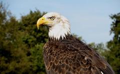 oktober bird netherlands canon season eagle hunting baldeagle nederland powershot american prey vierhouten arend haliaeetus leucocephalus visarend sx280 wilddagen devalkroofvogelsnl