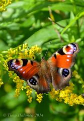 Aglais io (Timo Halonen) Tags: macro butterfly mariposa sommerfugl vlinder papillion fjril laihia papilionoidea nikondx ostrobothnia etelpohjanmaa liblikas tagfalter impressedbeauty d5200 pivperhonen