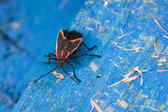 19 Boxer Elder Bug on Blue (Dragonflieseyes) Tags: onblue truebug hemiptera phillybugs