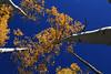Autumn Aspen, 5 October 2014 (Bob Palin) Tags: autumn usa tree fall 1025fav canon utah october 100v10f aspen potofgold dixienationalforest 100vistas instantfave canonef24105mmf4lisusm ashotadayorso canoneos60d orig:file=2014100521556adjust2048