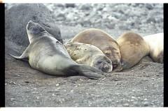 Snoozing on the Beach (becklectic) Tags: antarctica seal 1998 antarcticpenninsula worldtrekker 19981200206g
