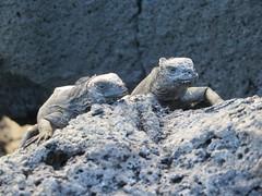Galápagos - Isabela-36