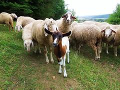 Schafe und Ziege (Tobi NDH) Tags: nature animal sheep natur flock goat ziege cabra mouton ged kambing oveja tier geit juh fr chvre schaf schaap kei ovelha koza lammas pecora  vuohi ovca herde  oaie schafherde hausschaf  capraaegagrushircus hausziege skaap cabradomstica tamget hzikecske ovisorientalisaries capr tamfr capradomestica  owcadomowa ovcedomc kozadomowa domaakoza kozadomc  evcilkoyun domaakoza kozadomca