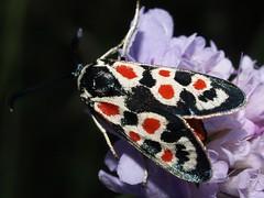Zygaena occitanica (fturmog) Tags: butterflies lepidoptera mariposas auna lepidpteros papallones alsdebalaguer lepidpters