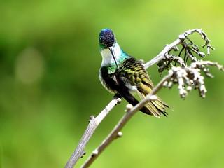Amazilia Andina, Andean Emerald, Amazilia franciae