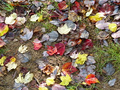 Autumnal Leaves (Gilder Kate) Tags: autumn leaves october arboretum surrey autumnleaves panasonic acer nationaltrust autumnal godalming 2014 winkwortharboretum fallcolour panasoniclumix autumncolour fz200 dmcfz200 panasoniclumixdmcfz200 hascomberoad