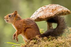 to jump (Geert Weggen) Tags: red plant nature mushroom look animal mammal rodent moss squirrel ground toadstool geert weggen ilobsterit hardeko