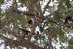 IMG_4857 (mbatalla82) Tags: birds animals jpg img toucans guanacaste collaredaracari 2013 4857 guanacaste2013img4857jpg