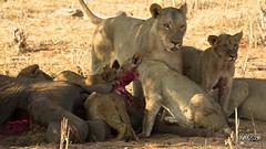 Brutal Nature (Plorq.com // Yorran van der Slik) Tags: park travel baby nature blood pups lion nat adventure national lions botswana chobe brutal natpark whelps