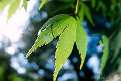 brilliant leaf (Takeshi Nishio) Tags: uv nikonf100    ei100  16mmfisheye pk11a fujiprovia100frdpiii  filmno801