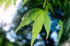 brilliant leaf (Takeshi Nishio) Tags: uv nikonf100 葉 ポジ モミジ ei100 フィルム 16mmfisheye pk11a fujiprovia100frdpiii 接写リング filmno801