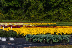 Mums_LDH6_698-Edit (loyce1023) Tags: travel flowers vacation plants usa fall tourism nature floral us tour blossom connecticut sightseeing ct roadtrip mums bolton northamerica touring autumm posy blooming boltonct