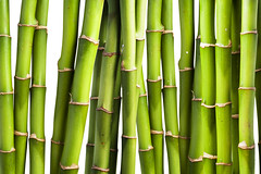 Fresh Bamboo (tigercop2k3) Tags: wood white plant tree green texture nature ecology grass japan closeup forest garden asian botanical thailand japanese leaf spring stem asia branch pattern natural gardening vibrant background traditional border chinese decoration culture fresh bamboo east growth jungle zen tropical environment fengshui decor freshness