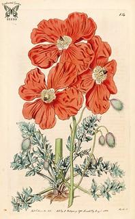 Armenian poppy. Papaver fugax, as Papaver floribundum (1816). Botanical Register, vol. 2 (1816) [S. Edwards]