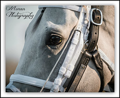 Hansen (14) (EASY GOER) Tags: portrait horse canon track champion racing aqueduct gotham races 56 thoroughbred equine 400mm