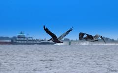 Pelican/Pelicanos (debbiecoral) Tags: bird beach fly wing playa pelican ave pico alas pajaro beack vuelo pelicano