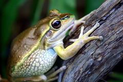 Frog (kelseyktthomas) Tags: animal amphibian frog