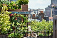Colorful Rooftop Oasis (Wisteria & Rose) Tags: flowers summer boston gardens roofdeck beaconhill urbangardens bostongardens beaconhillgardens