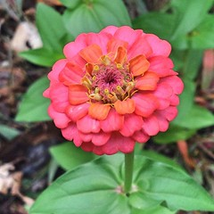 "We woke up to temperatures in the mid 40s. It was a very chilly round of morning barn chores this morning!  Discovering this Zinnia bloom in the raised bed garden while doing my chores certainly made my morning a little brighter. I find it nearly impossib • <a style=""font-size:0.8em;"" href=""http://www.flickr.com/photos/54958436@N05/15404804636/"" target=""_blank"">View on Flickr</a>"