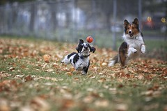 First Fall Catch 01 (Back in the Pack) Tags: portrait orange dog green calgary fall dogs leaves ball puppy fun nw play hannah sheltie elle catch 5d gromit bowness chuckit dogdaycare 70200mmf28lis dorkie backinthepack nwcalgary wwwbackinthepackca eos5dmarkii albertabarks