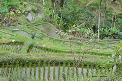 Rice terrace, Bali (Electra K. Vasileiadou) Tags: travel bali colour nature field animals indonesia landscape photography nikon asia seasia rice agriculture ricefield riceterrace d610 greekphotographers electravk