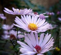 Three violets (dksesh) Tags: flowers garden hounslow seshadri arundhati dhanakoti haritasya haritasa sripadmini sonyxperiaz2