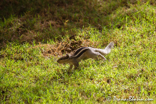 Squirrel, Running For Cover