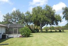 Sarasota - Back Yard Trees 2014 (1) (roger4336) Tags: house tree oak backyard florida kingston liveoak sarasota 2014 kingstondrive gulfgateeast