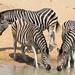 Plains zebra (common zebra or Burchell's zebra), Equus quagga, at the water hole, uMkhuze Game Reserve, kwaZulu-Natal, South Africa
