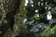 Leptotes bicolor in situ (Luiz Filipe Varella) Tags: rio grande do orchidaceae orqudeas sul bicolor orqudea leptotes laellinae