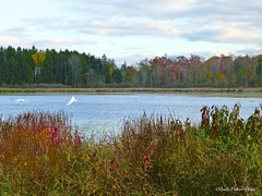 Pierce Lake - Mute Swans (Perkins-Boyer Photos) Tags: tree bird flora chelsea michigan