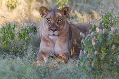 Pretty Girl (Dmytro Cherkasov) Tags: africa park nature animal wildlife lion national botswana wilderness 500px ifttt