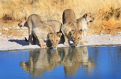 Pride of Lions and reflection drinking from a waterhole (paulafrenchp) Tags: reflection water cat big feline lion waterhole