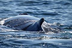 Humpback Whale Cape Cod Mass 3 (murraymeister44) Tags: water animal fauna capecod massachusetts whales humpbackwhales aqautic