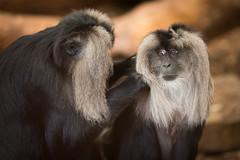 Mandrills (Mark Carline) Tags: animals zoo cheshire chester mandrill mandrills
