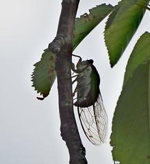 Cicada (KoolPix) Tags: nature cicada insect wings wildlife nationalgeographic naturephotography naturephotos amazingnature jayd naturephotographer mnsa amazingwildlife oceansideny fantasticnature animalphotographer marinenaturestudyarea koolpix jdiaz fantasticwildlife jaydiaz jaydiaznaturephotographer wcswebsite photocontesttnc14 dailynaturetnc14