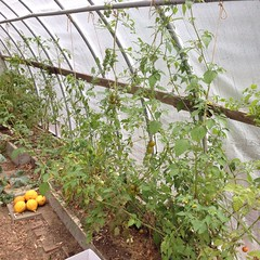 "I was worried that our heirloom tomato plants might not survive the 30 degree temperatures last night. They seem okay today and were soaking up the sunshine in our unheated hoop house. Here's hoping that they'll keep right on producing for a few more week • <a style=""font-size:0.8em;"" href=""http://www.flickr.com/photos/54958436@N05/15462921195/"" target=""_blank"">View on Flickr</a>"