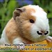 """French Guinea Pig • <a style=""""font-size:0.8em;"""" href=""""http://www.flickr.com/photos/59473319@N06/15477381041/"""" target=""""_blank"""">View on Flickr</a>"""